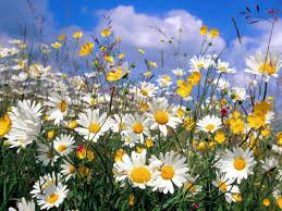 We are like grass in the field and flowers of the meadows