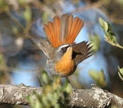 Cape Robin Chat in all his beauty