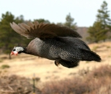 Guinea-in-Flight-W